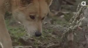 Dingo's are Australia's top predator