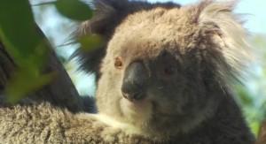 Koalas aren't actually bears