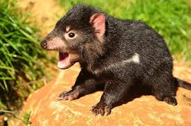 Is the Tasmanian Devil Doomed?
