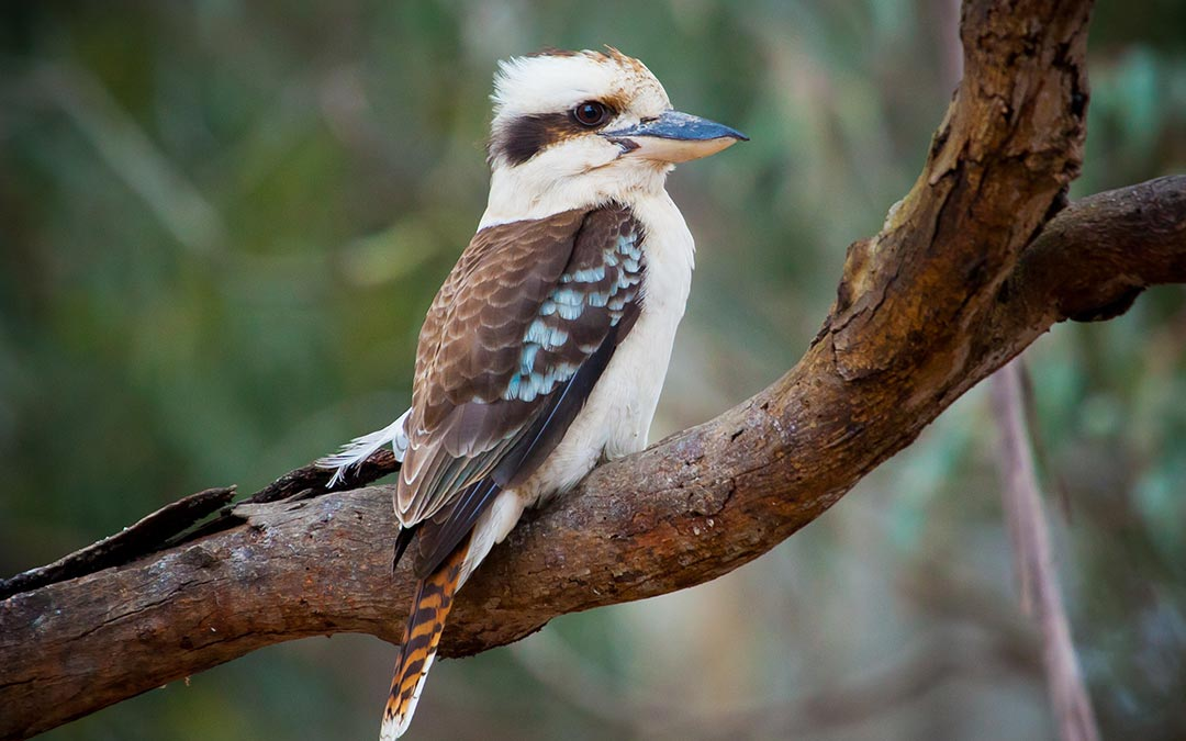 Meet Australia's Bird Whisperer