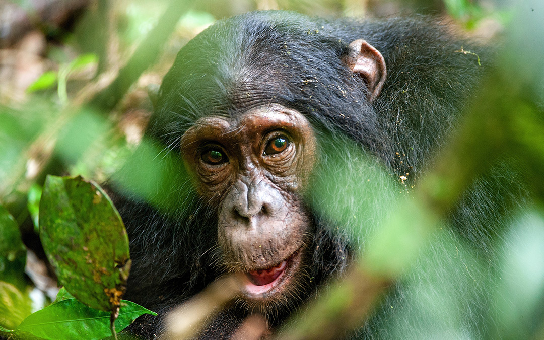 My wild trek through a chimpanzee forest